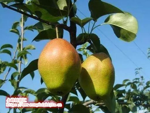 种植这5大梨品种,想不赚钱都很难